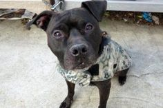My name is FRANK. My Animal ID # is A1105242. I am a male black and white am pit bull ter mix. The shelter thinks I am about 7 YEARS old.  I came in the shelter as a OWNER SUR on 03/03/2017 from NY 10475, owner surrender reason stated was OWNER HOSP.