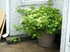 Entretien des hortensias en pot Pots, Planters, Outdoor Structures, Gardens, Pruning Hydrangeas, White Hydrangeas, Planting Flowers, Interview, Plant