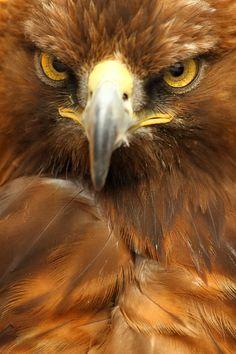 Golden Eagle portrait by Alan Hinchliffe