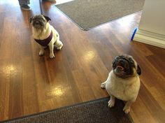 Pug Party at HVC with Olive and Theo! #pugs