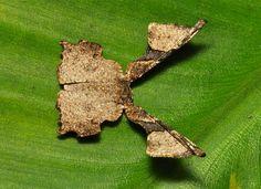 Epiplemiine Moth (Monobolodes sp., Uraniidae)   Pu'er, Yunnan, China