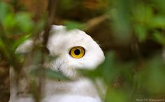 White Owl - HD Wallpapers
