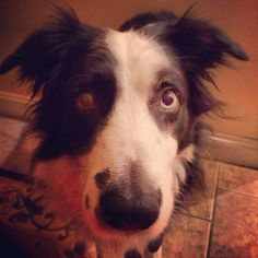 Border Collie #2DifferentColoredEyes