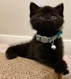 For Sale Siamese Cats Code: 3532244624 Pretty Cats, Beautiful Cats, Animals Beautiful, Kittens Cutest, Cats And Kittens, Black Kittens, Siamese Cats, Crazy Cat Lady, Crazy Cats