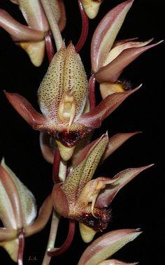 Catasetum schmidtianum