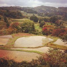 Niigata rice fields