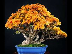 A tree is a tree, a pot is only a pot. It does not become a Bonsai until these two are combined and form a harmony together. A large part of the art of Bonsai is the experience of a tree that has Bougainvillea Bonsai, Flowering Bonsai Tree, Bonsai Flowers, Ikebana, Plantas Bonsai, Fleur Orange, Orange Yellow, Bonsai Styles, Indoor Bonsai