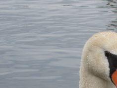 swan ~ lake