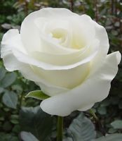 A true white, pretty shaped rose that goes nicely with Daisy-type flowers and gypsophila Rare Flowers, Amazing Flowers, White Flowers, Cool Flowers, Colorful Roses, Pretty Roses, Beautiful Roses, Growing Roses, Pink Peonies