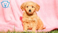 Wes | Goldendoodle - Miniature Puppy For Sale | Keystone Puppies