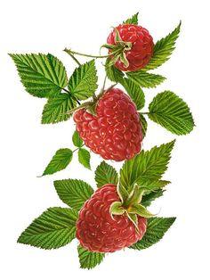 Plants & Berries on Behance Fruit Illustration, Food Illustrations, Botanical Illustration, Raspberry Plants, Raspberry Fruit, Blackberry, Nature Drawing, Plant Drawing, Botanical Drawings