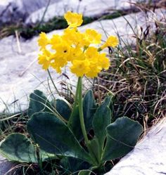Photograph of Bear's Ear Primrose - Primula auricula