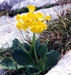 Photograph of Bear's Ear Primrose - Primula auricula