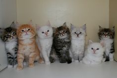 Kitten Album Litter S Siberian Kittens, Album, Cats, Animals, Gatos, Animales, Kitty Cats, Animaux, Cat