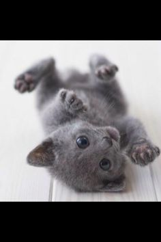 Cutest Kitten Breeds: Russian Blue Aww why am I allergic to kitties? Baby Animals, Funny Animals, Cute Animals, Cute Kittens, Cats And Kittens, Crazy Cat Lady, Crazy Cats, Cutest Kitten Breeds, Cat Breeds