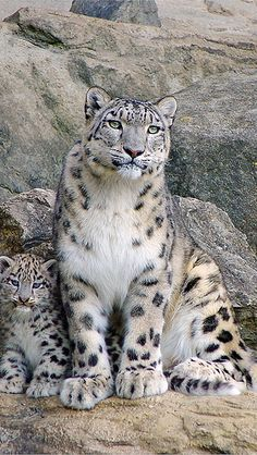 Snow leopard and cubs sitting on the rocks