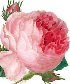 Rosa Centifolia - Natural History Museum greeting card