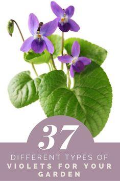 10 Viola odorata vivace Groundcover Violet Wildflower Permaculture Plants
