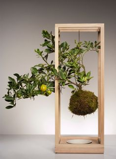 Anthology Magazine - Fox Fodder Farm - suspended moss ball with citrus tree. I love the hanging frame containing the tree. I want to teach myself how to make these. The fascinate me and make me happy.