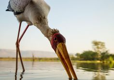 Фотографу удалось запечатлеть одну из самых пугливых птиц ЮАР — африканского клювача — с расстояния в несколько десятков сантиметров. Чтобы не спугнуть героя кадра, натуралисту пришлось соорудить специальное укрытие, а также использовать широкоугольный объектив.