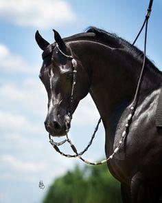 ZEFYR+//  (Sundance Kid V x Pattrice)  2002 Purebred Black Stallion