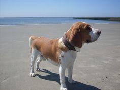 Wie schaffe ich es, dass mein Beagle eine solche Figur hat? #beagle #beaglewelpen
