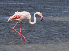 Greater-Flamingo -- Saw them in roadside ditches right in the city! Greater Flamingo, Cape Town, West Coast, South Africa, African, City, Garden, Photography, Fotografie