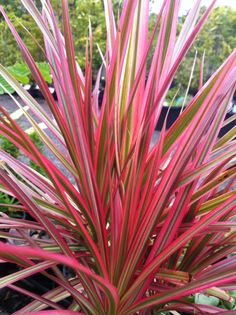 Colorama Dracaena - Native to Madagascar, aka Madagascar Dragon. Partial Sun, Partial Shade. Drought Tolerant. Showy all seasons. Height 3'-20' Dragon trees are easily pruned and propagated by removing a tuft of leaves and rooting the branch.