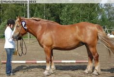 Estonian Draught - mare Hevi