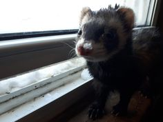 Snow face Pet Ferret, Snow, Pets, Face, Animals, Animaux, Animal, Animales, Faces