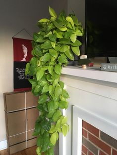 My neon pothos is going a bit out of control! House Plants Decor, Plant Decor, Cool Plants, Green Plants, Indoor Garden, Indoor Plants, Neon Pothos, Plant Aesthetic, Plants Are Friends