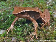 The Sharp Snouted Day Frog or Sharp-nosed Torrent Frog (Taudactylus acutirostris)