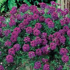 Hardy Verbena    Lovely purple flowers on a carpet of green.        Weaves a thick, luxurious mat of foliage just 4 in. high; spreads rapidly. Absolutely loaded with royal purple flowers from early summer to frost. One plant covers 4 sq. ft. Prefers full sun