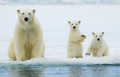 Image of polar bear mother, ursus maritimus, and twin cubs of the year hunting on the pack ice, svalbard archipelago, arctic norway by ArcticPhoto Polar Bear Facts, Baby Polar Bears, Cute Teddy Bears, Polar Bears In Norway, Baby Pandas, Bear Photos, Bear Pictures, Animal Pictures, Baby Animals