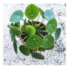 ⏳Petit rappel !⏳ Le concours pour tenter de remporter un de mes Petits Pilea peperomioides se termine demain !  Les comptes privés n'oubliez pas de passer en public. Les Résultats du concours demain vers 20h. D'ici là bon week-end  #concourspilea #sweetyoxalis #blogvégétal #pilea #pileapeperomioides #chinesemoneyplant #missionaryplant #plantaddiction #plantmakepeoplehappy #mavieenvert #plantlovers