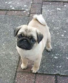 Pug puppy wants what your eating!