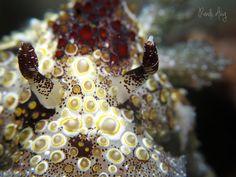 Hoplodoris estrelyado | por Randi Ang