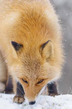 Foxes Photography in Hokkaido – Fubiz Media