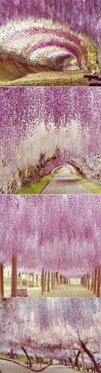 Wisteria trees at Kawachi Fuji Garden in Japan.>