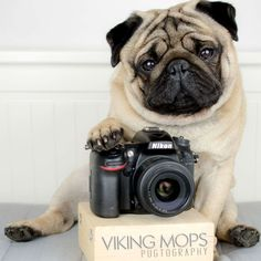 Home of Global Pug Domination - Join The Pugs - Visit us for unstoppable cuteness! Adorable Pug and Pug puppy cuteness are always on display. Pug Photos, Pug Pictures, Pug Puppies, Chihuahua, Fawn Pug, Pugs And Kisses, Cute Pugs, Funny Pugs, Animals