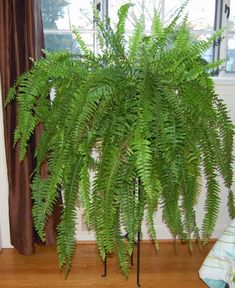 The Indoor Garden: How to Care for a Boston Fern (Autumn)---keeping one thriving through the winter Fern Care Indoor, Indoor Ferns, Indoor Plants, Potted Plants, Container Gardening, Gardening Tips, Indoor Gardening, Succulent Containers, Container Flowers