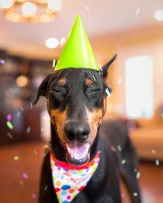 Go, tall-y! It's ya birthday! We gon' party like its ya birthday!  #HappyBirthday #3YearsOld • Doberman Pinscher • Black & Rust • Tale of Tails Photography