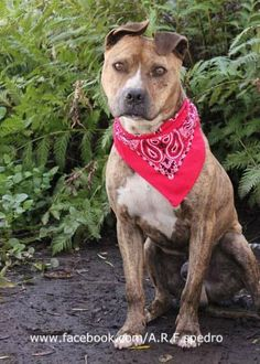 UPDATE: Duke (A172255) was rescued by 4Legged Kidz - Rescue and Adoption. :) YAY!!!!!!!!!!! *****DIES TOMORROW!! RED-LISTED **HAS 605 IN PLEDGES FOR HIS RESCUE! Duke is a sweet, friendly, well-behaved brindle beauty with an absolutely fabulous pair of perpetually windswept ears! Duke was Best Buddies with the lovely Daisy A1376971 who has been adopted. Please consider rescuing or adopting…