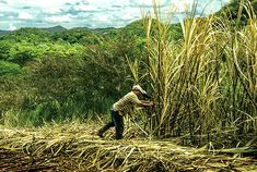 """Although we currently harvest both mechanically and manually, we're committed to transitioning to what is referred to in the industry as """"green cane harvesting."""""""