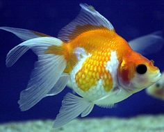 gold fish | Fish Focus: Pearlscale Goldfish