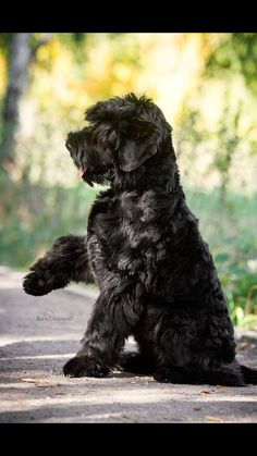 Ranked as one of the most popular dog breeds in the world, the Miniature Schnauzer is a cute little square faced furry coat. Schnauzer Mix, Black Schnauzer, Giant Schnauzer, Miniature Schnauzer, Schnauzers, Big Dogs, Dogs And Puppies, Doggies, Schnoodle Dog