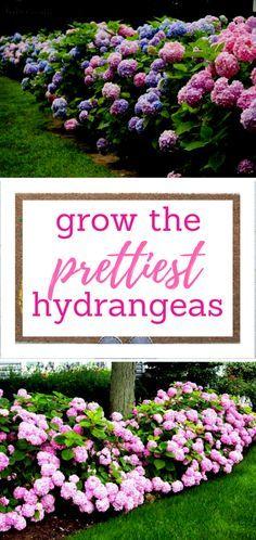 Growing Hydrangeas, Growing Hydrangeas In Pots, Gardening, Gardening Ideas, Flower Gardening, Growing Hydrangeas Front Yard #gardening #flowers