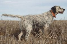 English Setter Hunting Dog For Sale