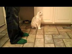 """Can you teach a cat to do a """"Sic em, Bears?"""" Absolutely! (click to watch video) // #sicem #Baylor"""