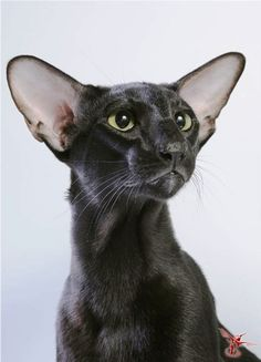 They are surprisingly reminiscent of wild cats. The same grace, the same plastic movements, harmonious and at the same time a strong, muscular body. Long legs and tail. Pretty Cats, Beautiful Cats, Animals Beautiful, Cute Baby Animals, Animals And Pets, Oriental Shorthair Cats, Oriental Cat, Cute Black Cats, Cat Aesthetic
